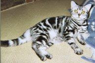 OP-Kanada-Iowa-American-Shorthair-silver-tabby-cat-lying-on-carpet