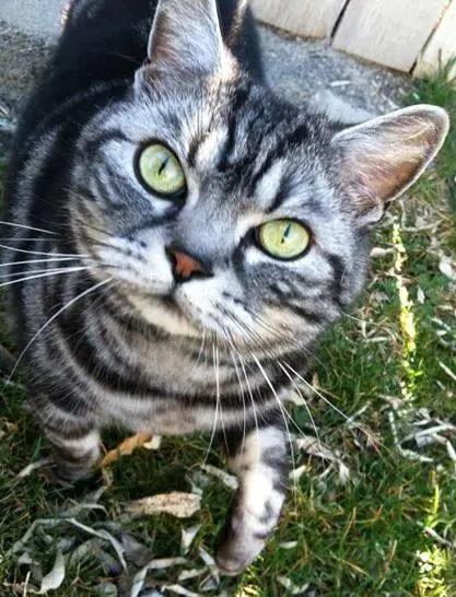 OP-Kryton-2013-American-Shorthair-Classic-silver-tabby-cat-walking-in-grass
