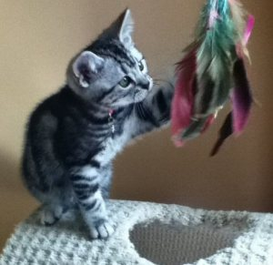Image of Lilly Anne Oct 29 2013 American Shorthair silver tabby kitten playing with feather toy