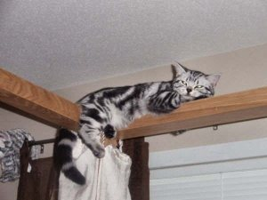 Image of American Shorthair silver tabby cat sleeping on top of bed frame