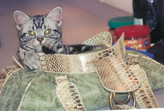 Image of American Shorthair silver tabby cat sitting inside large green purse