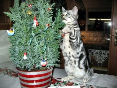 Image of American Shorthair silver tabby cat standing on hind legs to investigate the christmas tree