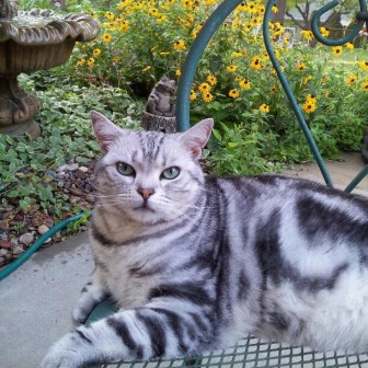 Image of American Shorthair silver tabby lying on a patio table with black-eyed susans