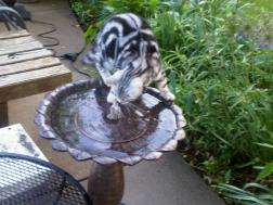 Image of American Shorthair silver tabby cat playing in water fountain