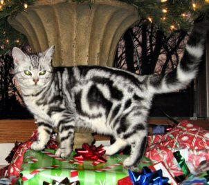 Image of American Shorthair silver tabby cat walking beside christmas packages
