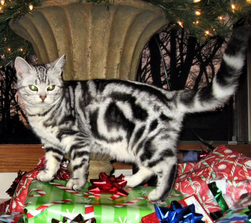 Image of American Shorthair silver tabby cat walking beside christmas packages