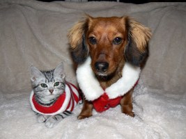 Image of American Shorthair silver tabby kitten and dachshund dressed in santa christmas sweaters