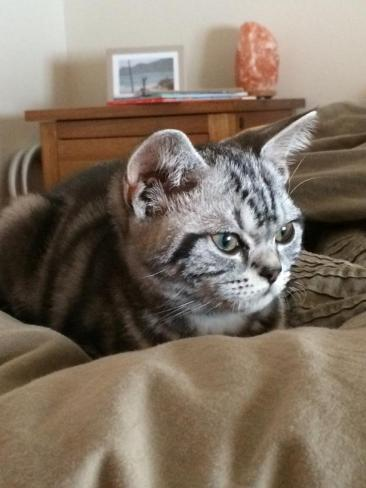 Image of American Shorthair silver tabby kitten lying in the middle of a puffy bed