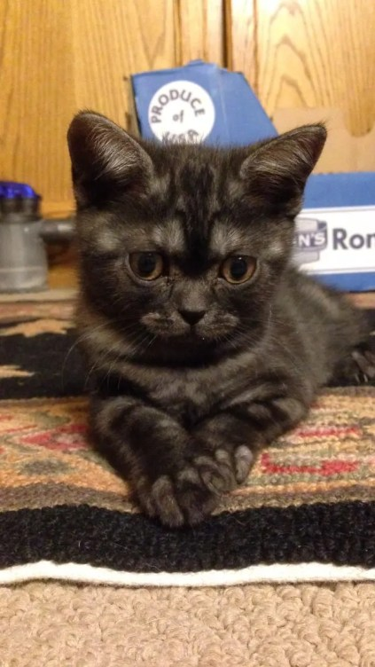 Image of American Shorthair black smoke kitten lying on carpet face view