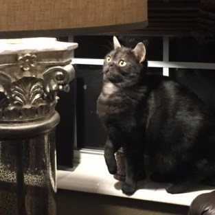 Image of American Shorthair black smoke cat sits beside lamp