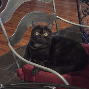Image of black smoke American Shorthair cat on a metal chair