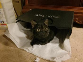 Image of American Shorthair black smoke cat with round gold eyes playing with tissue paper and shoe box