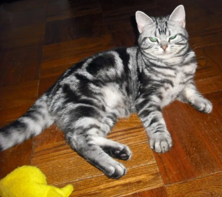 Image of American Shorthair silver tabby cat lying on wood floor