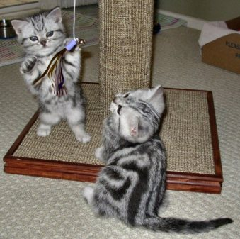 OP-Max-Molly-Apr-18-2011-two-American-Shorthair-silver-tabby-kittens-play-with-sparkle-toy-hanging-from-cat-tree