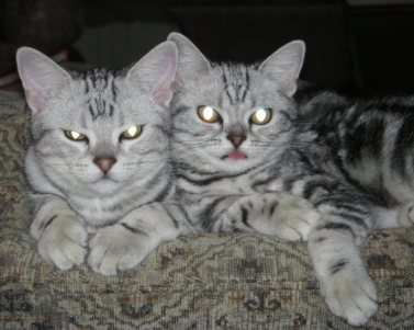 OP-Max-Molly-May-1-2011-two-American-Shorthair-silver-tabbies-resting-together-on-sofa