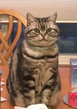 Image of American Shorthair classic silver tabby cat sitting on table