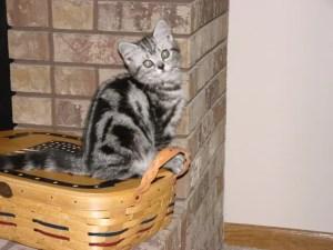Image of American Shorthair silver tabby kitten sitting on picnic basket beside brick fireplace