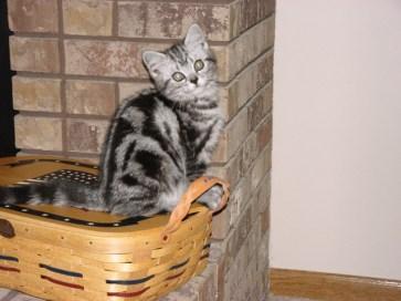 OP-Molly-Jul-11-2005-American-Shorthair-silver-tabby-kitten-sitting-on-picnic-basket-beside-brick-fireplace