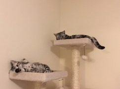 Image of American Shorthair silver tabby kitten showing his belly spots with big brother in cat tree