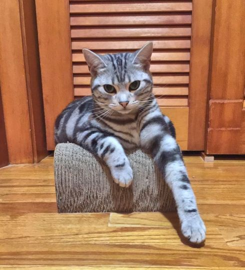 Image of American Shorthair silver tabby cat hanging paws over scratching toy to relax