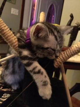 Image of American Shorthair silver tabby kitten sound asleep on hammock chair