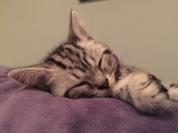 Image of American Shorthair silver tabby kitten sound asleep on purple pillow