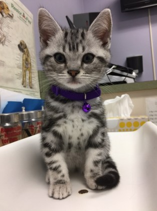 Image of American Shorthair silver tabby kitten with purple collar getting his check up at the vet