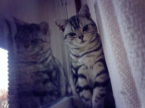 Image of American Shorthair cat hiding behind curtain reflected in window showing necklace and bracelet markings