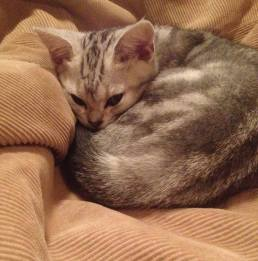 Image of American Shorthair silver tabby kitten curled up sleeping on beanbag
