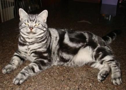 Image of American Shorthair silver tabby cat lying on granite countertop