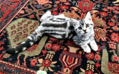 Image of Silver tabby American Shorthair kitten lying on an oriental rug showing dorsal stripes and tail rings
