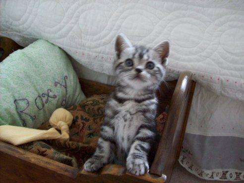 Image of American Shorthair Silver tabby kitten sitting up beside bed