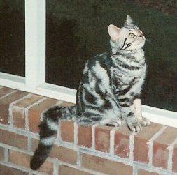 Image of American Shorthair silver tabby cat sitting on brick windowsill