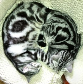 Image of two American Shorthair silver tabby kittens curled up together
