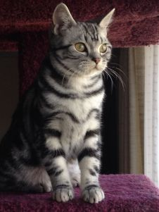 Image of American Shorthair silver tabby kitten sitting on cat tree showing necklace and bracelet markings