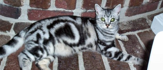 Image of American Shorthair classic silver tabby reclining on brick hearth