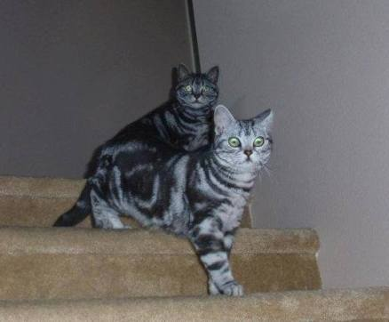 Image of Two American Shorthair silver tabby cats walking down stairs