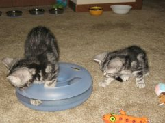 Image of two American Shorthair silver tabby kittens playing with cat toy