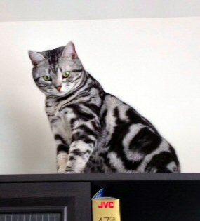Image of American Shorthair silver tabby cat looking down from high shelf