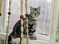 Image of American Shorthair classic silver tabby cat sitting on windowsill
