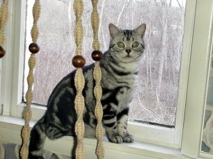 Image of American Shorthair classic silver tabby cat sitting on windowsill
