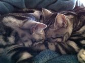 Image of two American Shorthair silver tabby cats sleeping head to head