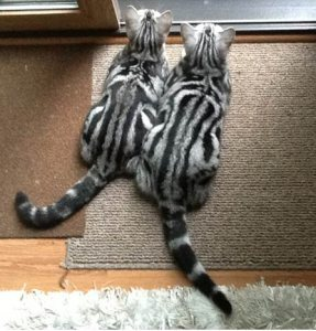 Image of two American Shorthair striped silver tabby cats with ringed tails looking out the window