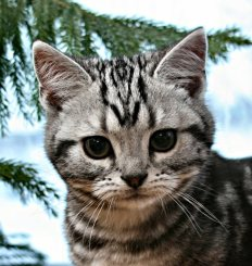 Image of American Shorthair classic silver tabby head shot showing M in front of snowy window