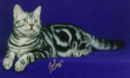 Image of American Shorthair classic silver tabby male Silver Cappy lying on blue backdrop
