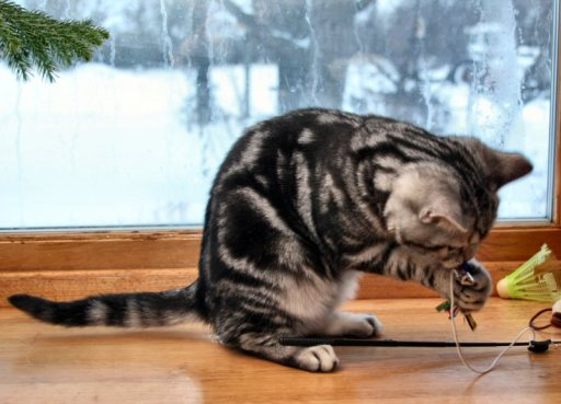 Image of American Shorthair classic silver tabby playing in front of snowy Christmas window