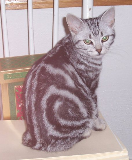 Image of american shorthair silver tabby cat with bulls eye marking sitting on white rail chair