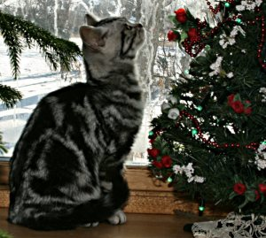 Image of American Shorthair classic silver tabby in front of window beside Christmas tree on a snowy day