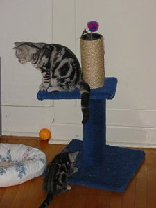 Image of silver tabby American Shorthair cat perched on blue sisal wrapped scratching post with kitten playing beneath