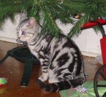 Image of American Shorthair female silver tabby sitting under Christmas tree